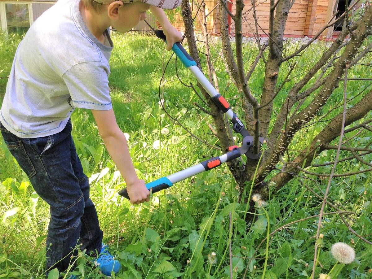 Сучкорез легко обрезает ветки сухой вишни